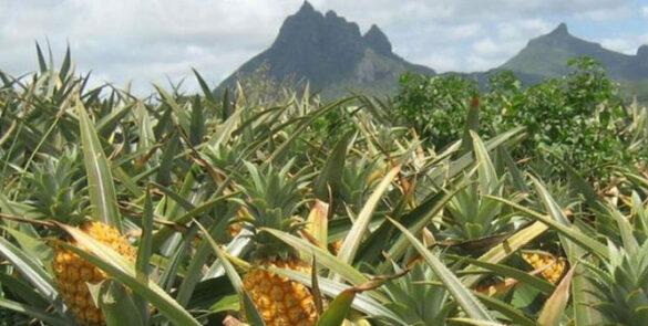 Ananas-3
